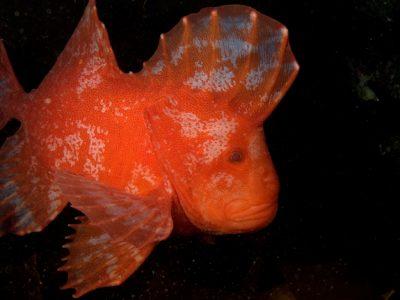 rode fluweelvissen (4)