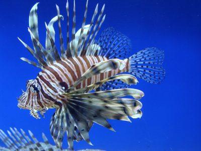 schorpioenvissen (5)