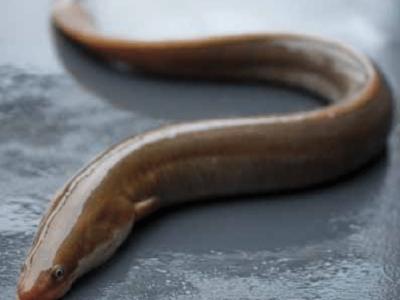 Europese paling (1)