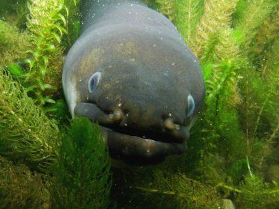 Nieuw-Zeelandse-paling-1