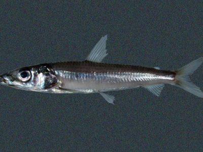 gladkopvissen (3)