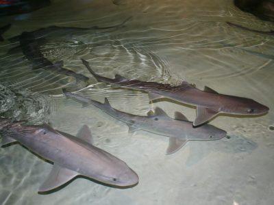 gladde haaien (3)
