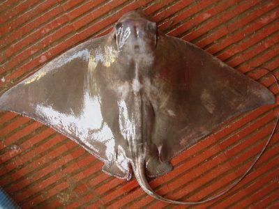 Chileense adelaarsrog (4)
