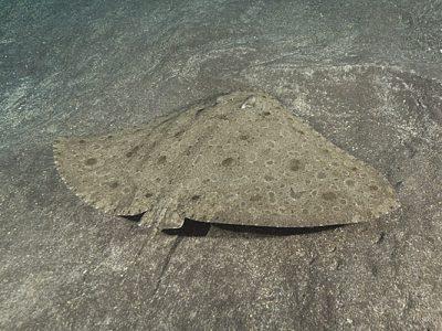 vlinderroggen-1