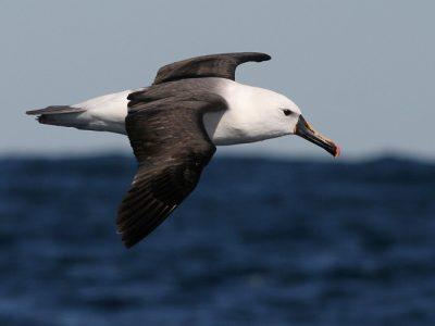 Atlantische geelsnavelalbatros (3)