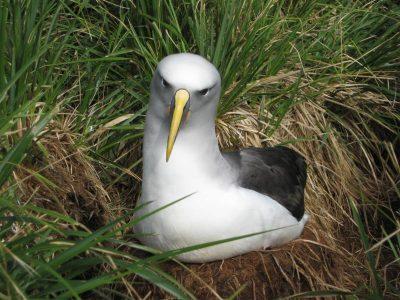 bullers albatros (4)