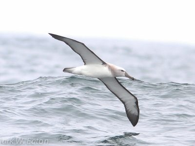 salvins albatros (3)