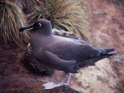 zwarte albatros (3)