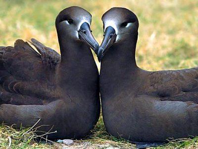 zwartvoetalbatros (4)