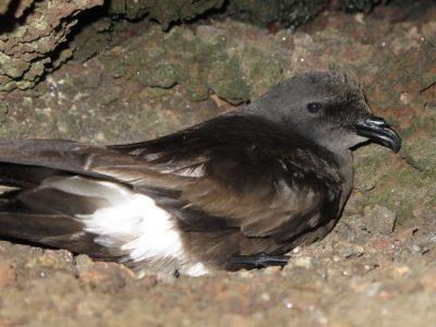 Kaapverdisch stormvogeltje (4)