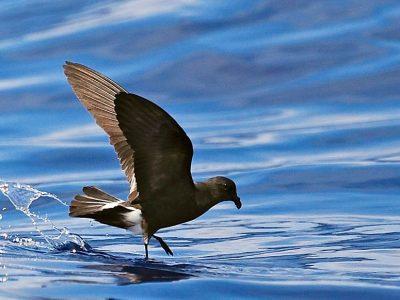 Monteiro's stormvogeltje (2)