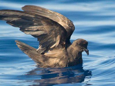 dwergstormvogeltje (1)