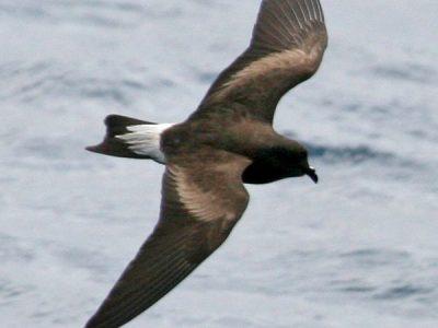 galapagosstormvogeltje (1)