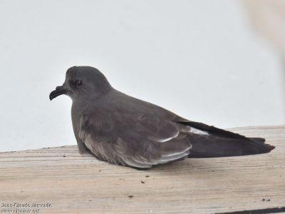 guadelupestormvogeltje (2)