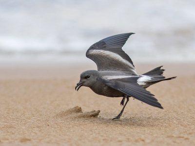 vaal stormvogeltje (2)