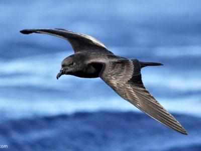Bulwers stormvogel
