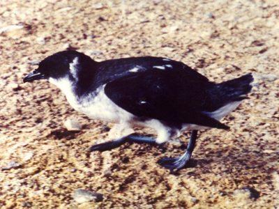 Chileens alkstormvogeltje