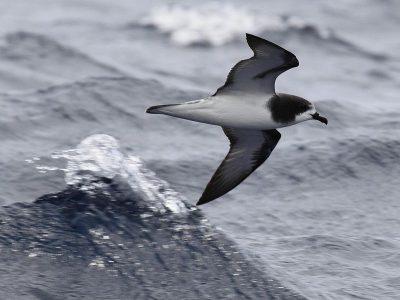 Goulds stormvogel