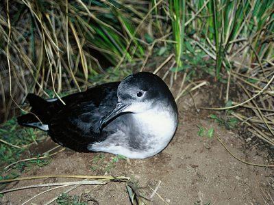 Huttons pijlstormvogel