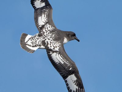 Kaapse stormvogel