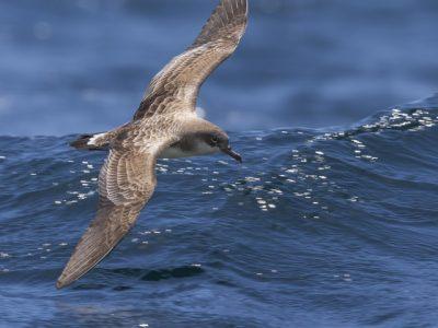 Kaapverdische pijlstormvogel