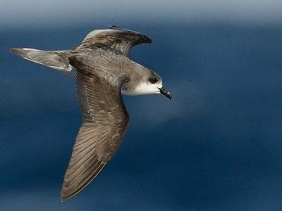 Pycrofts stormvogel