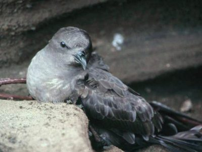 arminjons stormvogel