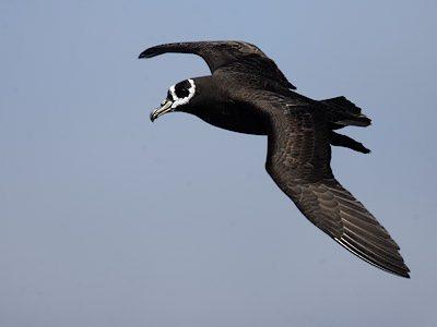brilstormvogel