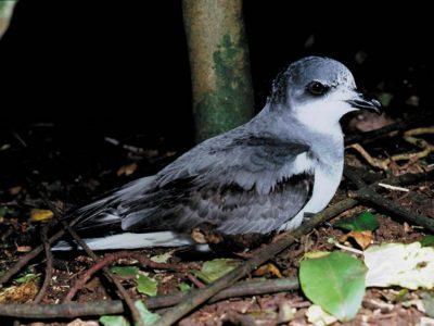 chathamstormvogel