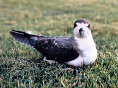 hawaiistormvogel
