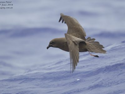hendersonstormvogel