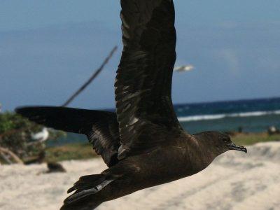 kleine wigstaartpijlstormvogel