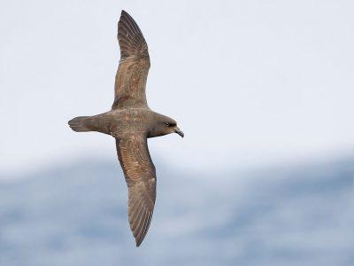 langvleugelstormvogel