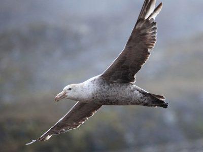 noordelijke reuzenstormvogel