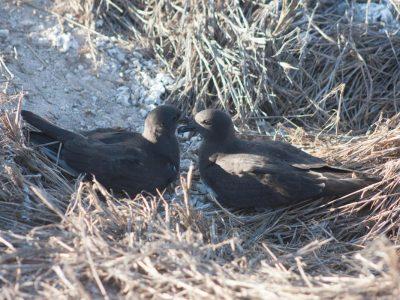 Phoenix stormvogel