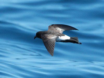 Nieuw-Zeelands-stormvogeltje (3)