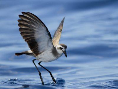 bont-stormvogeltje (2)