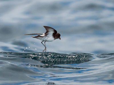 grijsrugstormvogeltje (4)