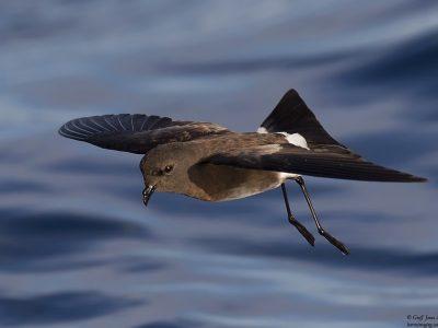 serlijk-stormvogeltje (3)