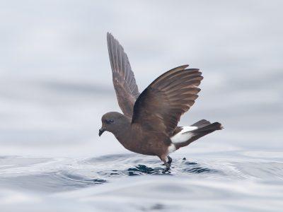 wilsons-stormvogeltje (2)