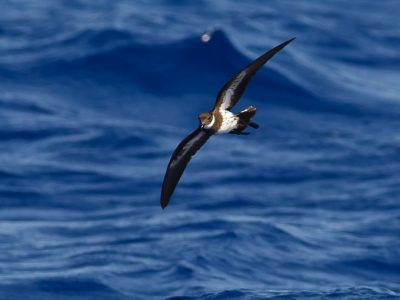 witkeelstormvogeltje (2)