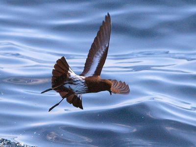 zwartbuikstormvogeltje (4)