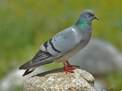 echte duiven (1)