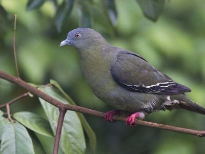 papegaaiduiven (2)