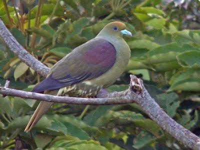 papegaaiduiven (3)