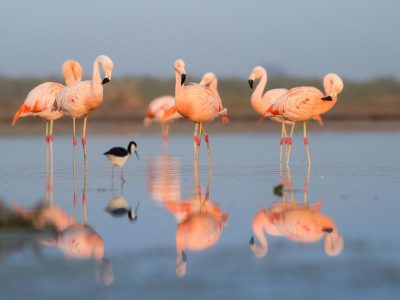 Chileense flamingo (1)