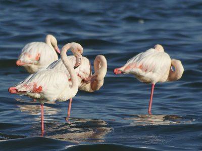 Europese flamingo (3)