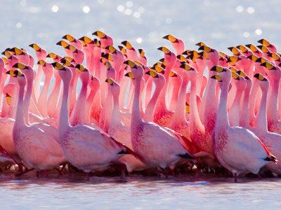 James' flamingo (4)