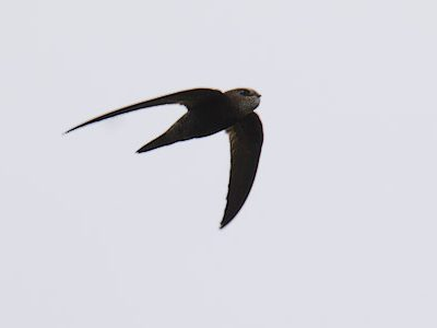 Balstons gierzwaluw