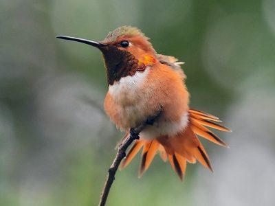 Allens kolibrie (1)